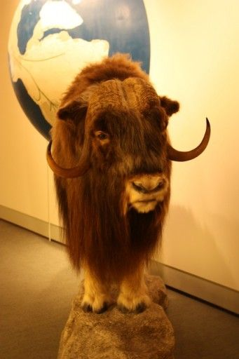 Musk Ox at the Anchorage Museum