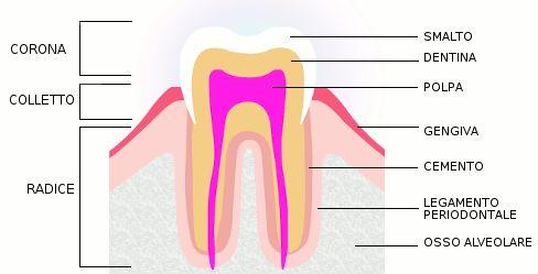 Sapete come è fatto un #dente?