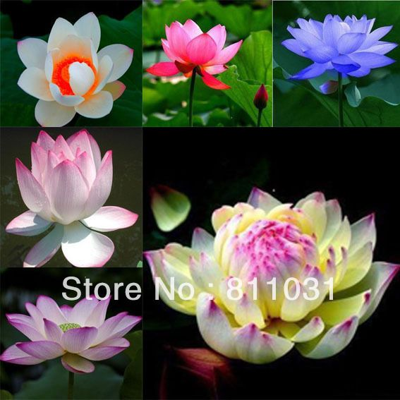 Hot selling 60pcs (included 6 colors) Lotus Flower Seeds Gorgeous Aquatic Plant DIY home garden free shipping