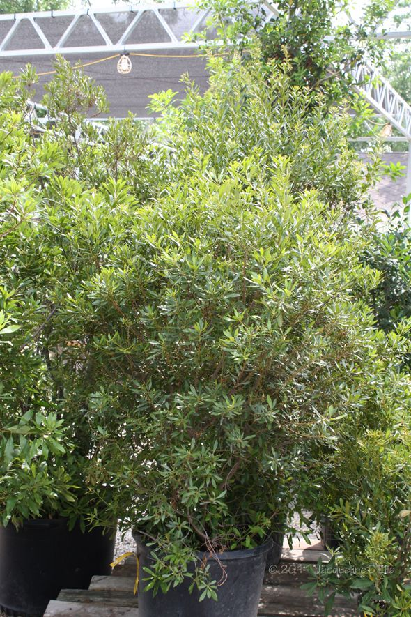 Southern Wax Myrtle Dream Backyard Native Plants