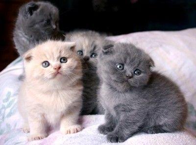 Standard Scottish Fold Munchkin Cats ...