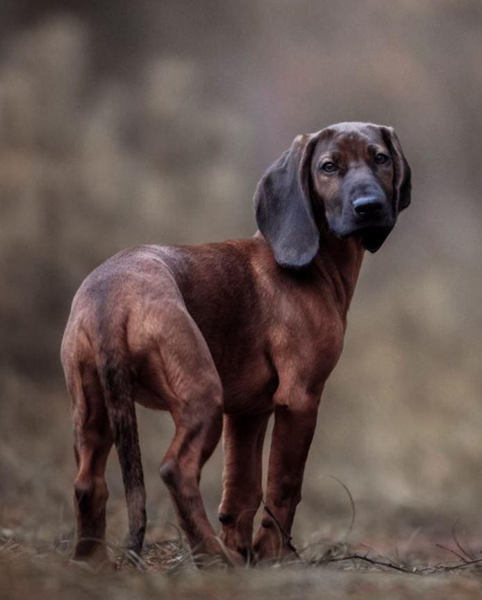 Hanover Hound Dog Swiss German