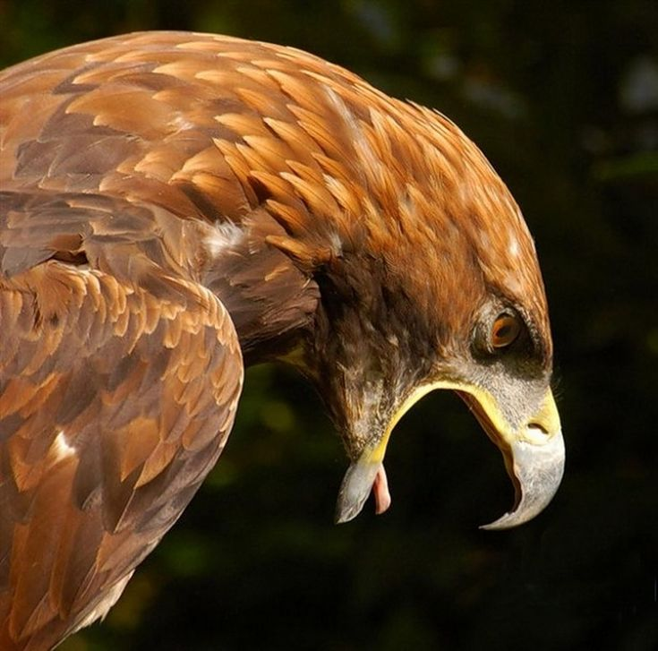 Incredible picture of golden eagle