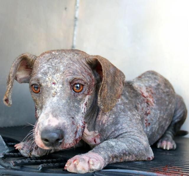 We are beyond angry. Meet Dorothy. Our friends at Rescue Dogs Rock's latest save from the San Antonio Animal Control Center, a cruelty case with no one to go after. This little girl is only a year old. Dorothy ended up dumped at the San Antonio shelter and believe it or not that was her lucky day. W