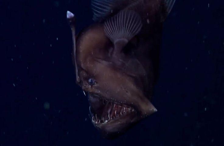Výzkumný tým zKalifornie zachytil na video devíticentimetrového mořského ďasa. Bruce Robinson, vědecký pracovník zinstitutu Monterey Bay, se domnívá, že jsou to historicky první záběry tvora, který žije všestisetmetrové hloubce. Video vzniklo vkaňonu Monterey. Tato část Tichého oceánu zaujímá stejnou plochu jako GrandKaňon.