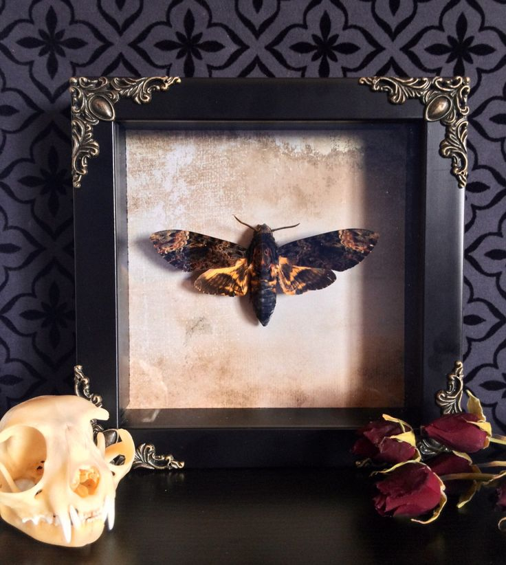 Asian Death Head Moth Shadow Box, Taxidermy, Real Butterfly, Framed Butterfly, Preserved Butterfly, Victorian, Memento Mori, Gothic Decor by beyondthedarkveil on Etsy https://www.etsy.com/ca/listing/464610342/asian-death-head-moth-shadow-box