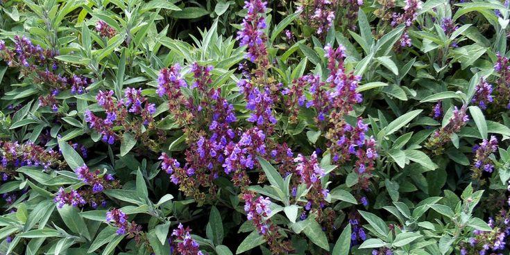 Hoja de Salvia - Salvia officinalis