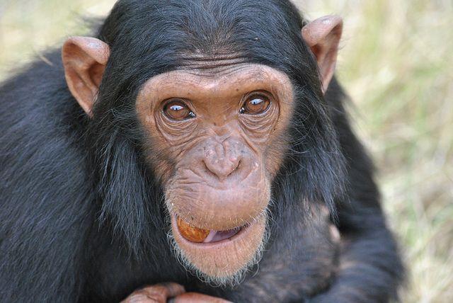 Chimp Eden Sanctuary - Zee | Flickr - Photo Sharing!