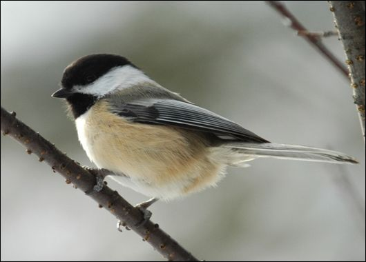 Black-capped Chicadees - used to see them all the time in New England.  Fall visitors here, they are beautiful little songbirds that are very friendly, not shy, and fun to watch.