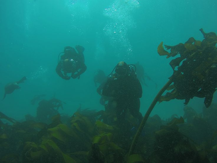 One of the unique features of Cape Town diving, exploring Kelp Forests.