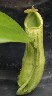 Nepenthes Neglecta Hijau