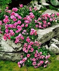 ground cover rose - Google Search
