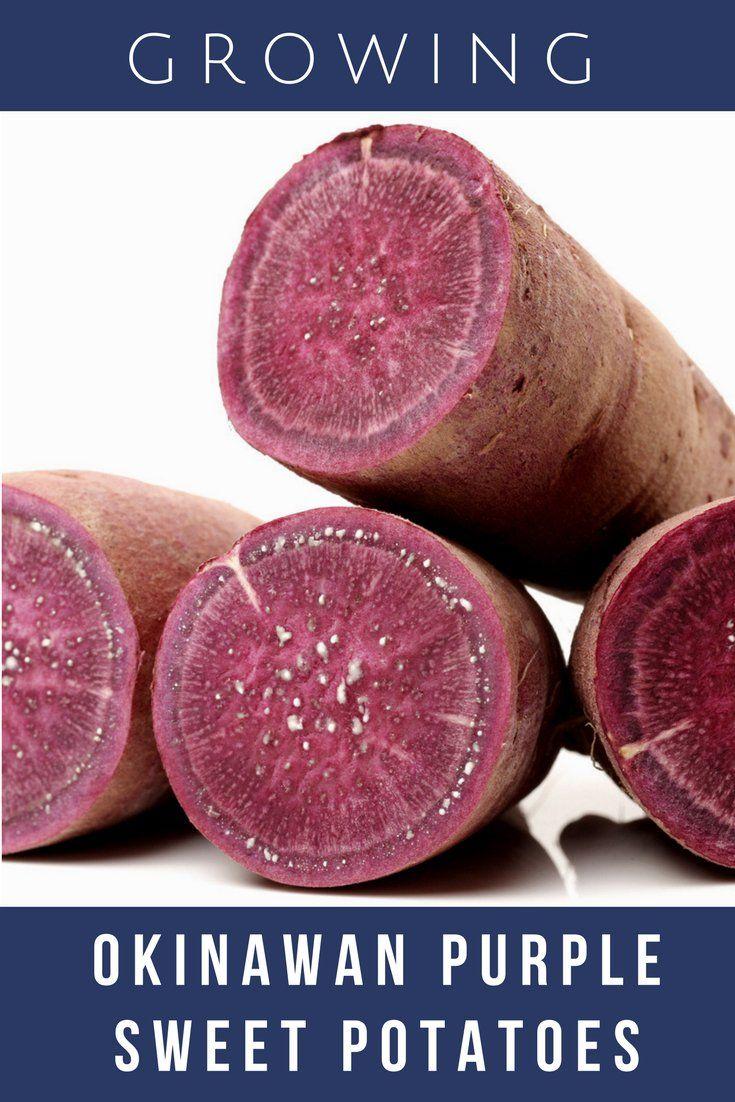 Growing Okinawan Purple Sweet Potatoes Gardening Know How S Blog