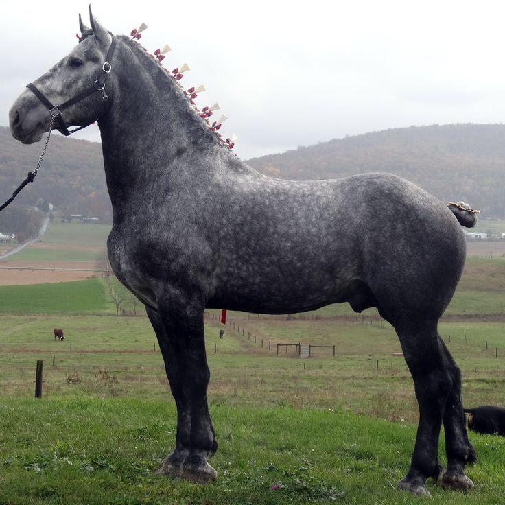 Percheron Horses | Dapple Grey Percheron Horses Dapple Grey Percheron Stallion