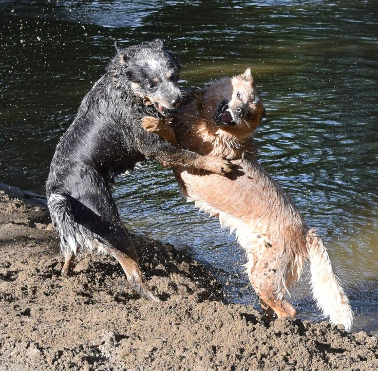 How Cattle Dogs play