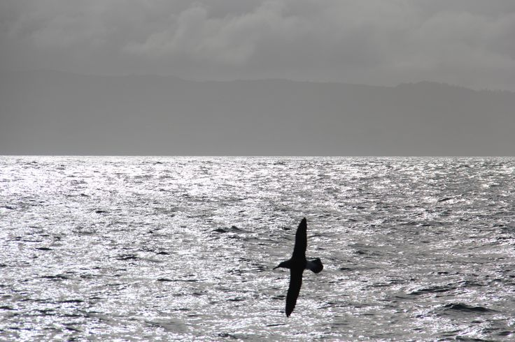 Albatross, Taiaroa Heads, Otago