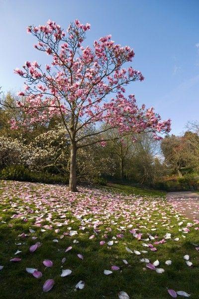 Best 25 magnolia trees ideas on pinterest trees to for Small tree varieties