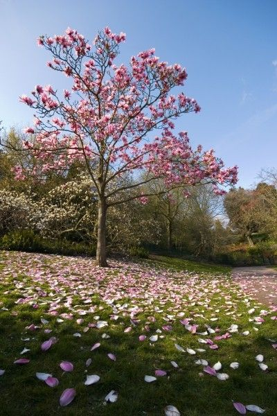 Best 25 magnolia trees ideas on pinterest trees to plant landscaping trees and small for A gardener is planting two types of trees