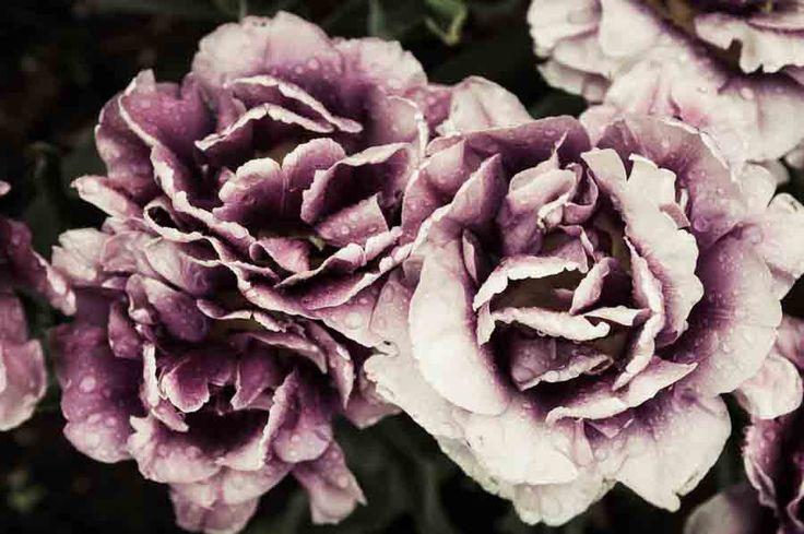 These really are tulips. image©K Woodland/K Woodland Photography