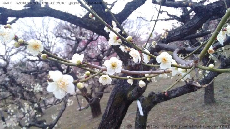 Árbol de #sakura en los jardines del Castillo de #Osaka #Osakajo #Japón