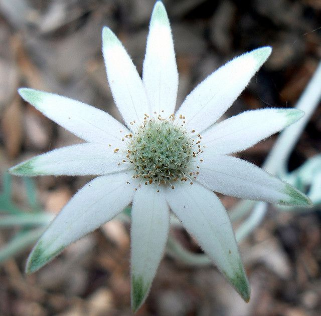 Flannel flower (Actinotus helianthi) a common species of flowering plant native to the bushland around Sydney.