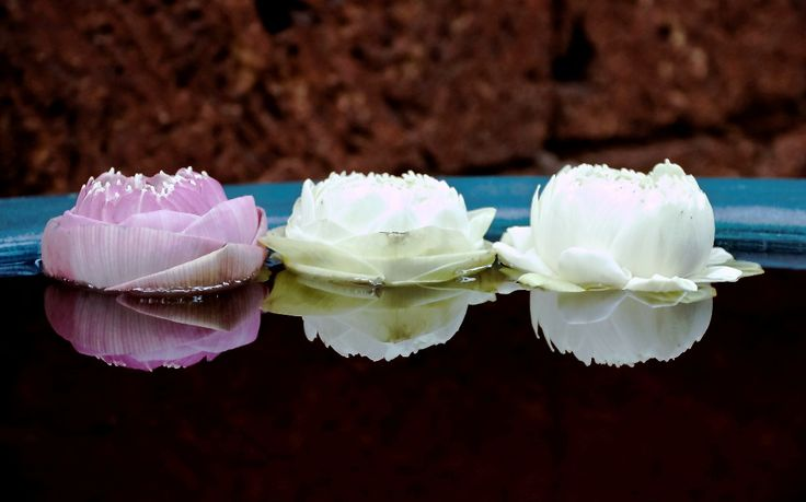 Gambar Bunga Teratai Berbagai Jenis