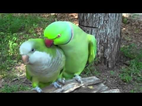 The give me a kiss Parrot