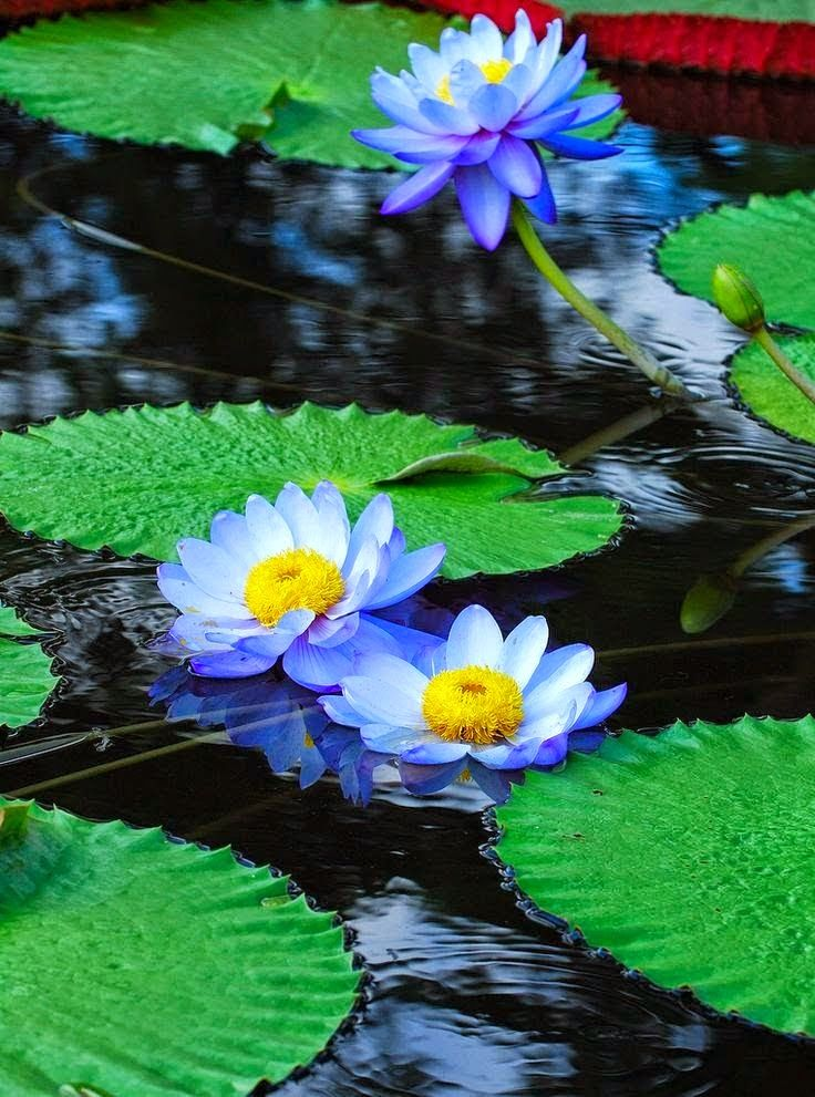 28 best Blue Water Lillies images on Pinterest | Lotus ...