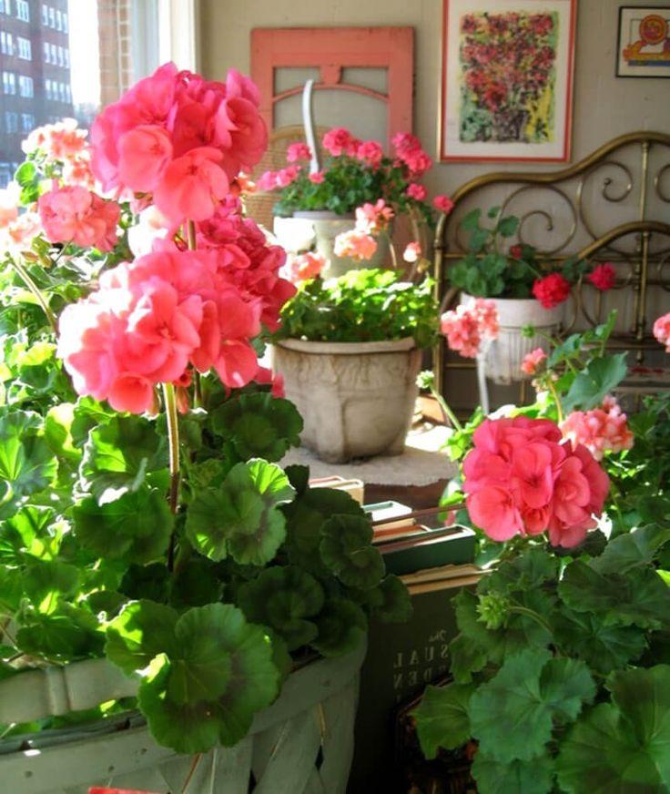 Как правильно обрезать герань для пышного цветения