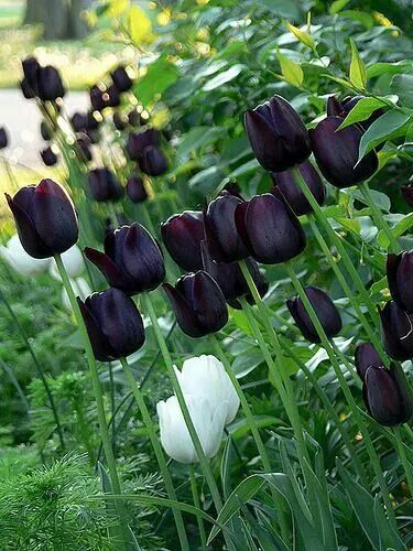 Nightshade's Garden:  In #Nightshade's #Garden ~ Queen of the Night Tulips.