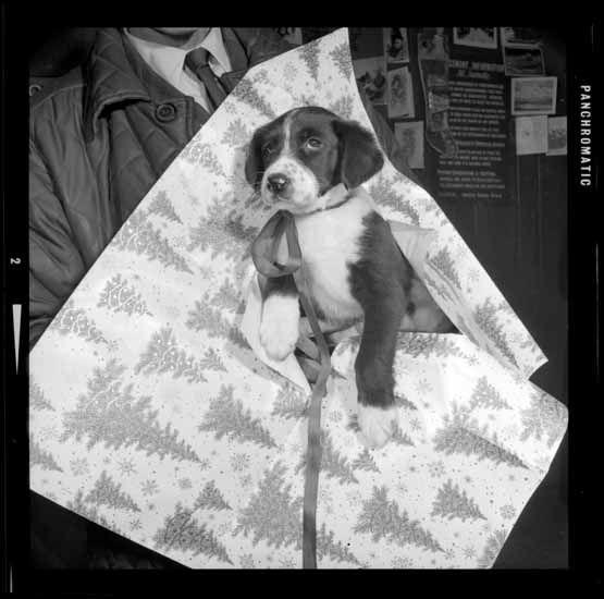 S.P.C.A. Christmas Puppy, Dec. 19, 1966. (Photo via Vancouver Public Library)