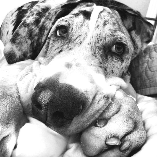 Great Dane Puppy    Like, repin, share! :)