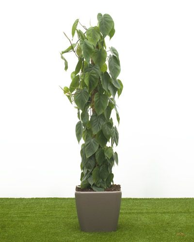 Philodendron scandens Sweetheart Plant