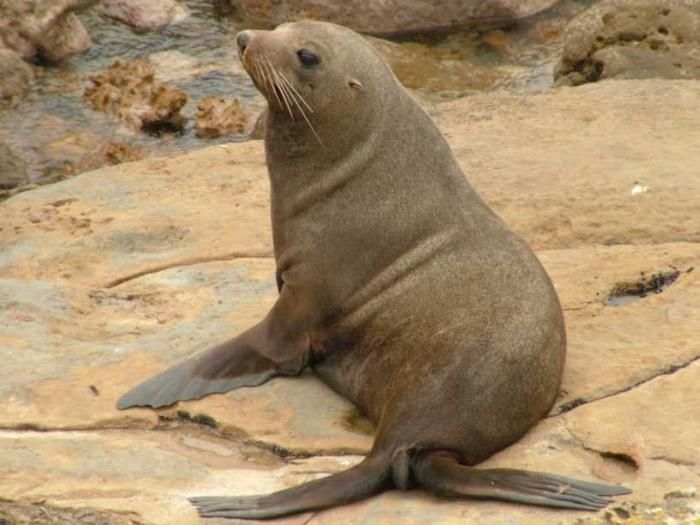 New Zealand Fur Seal! Found around the South Island and southern end of North Island. Wellington, Cape Palliser and Kaikoura are amongst the best colonies