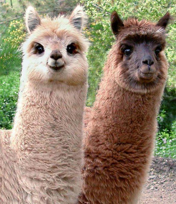 two cute llamas