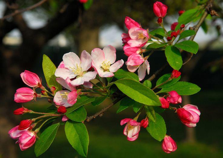 Flowering_crabapple small.jpg (800×566)