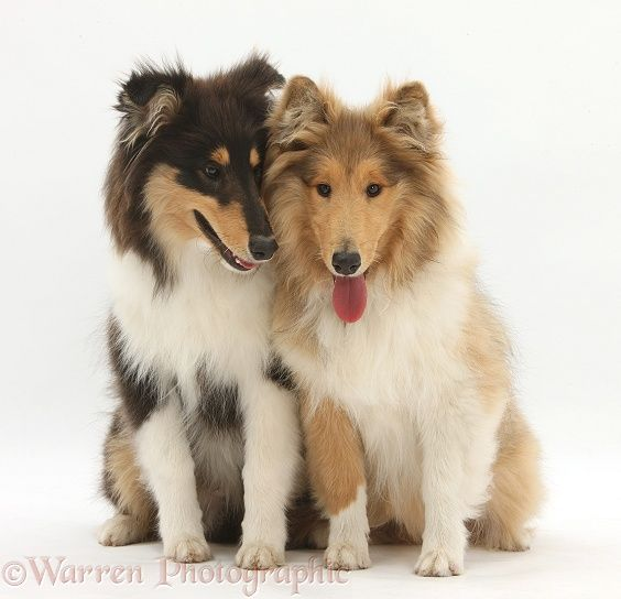Dogs: Rough Collies photo