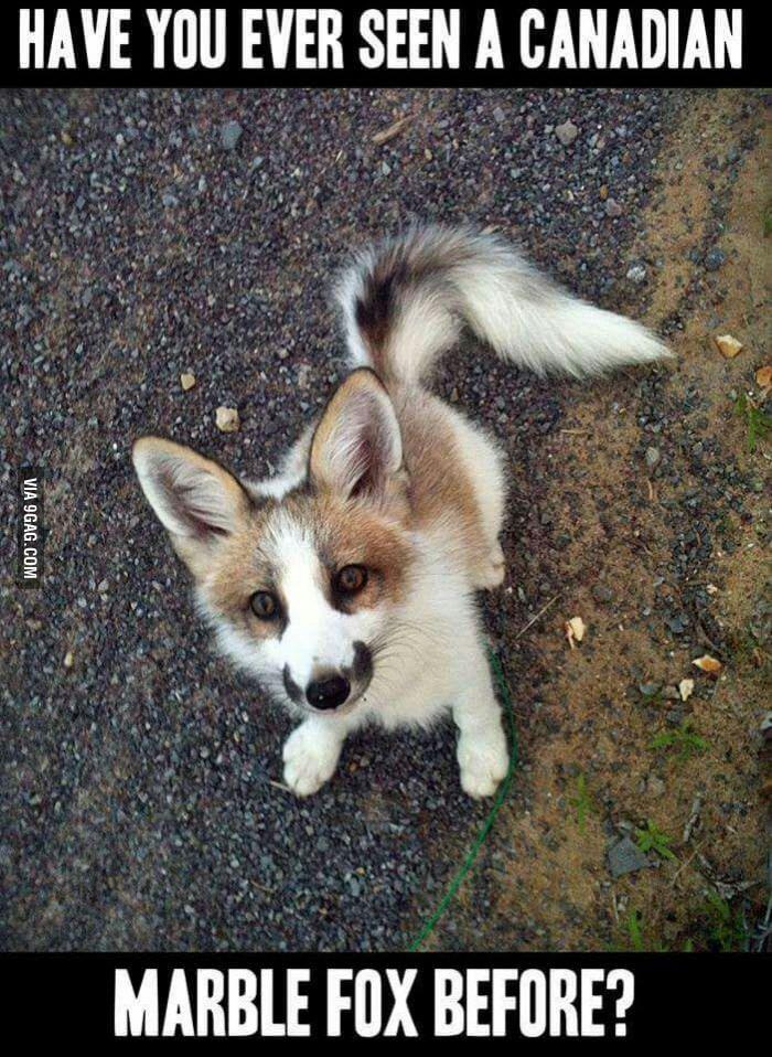 Canadian Marble Fox. Really cute.
