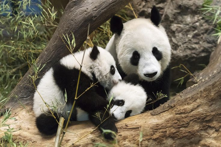 The Giant Panda twins at Schönbrunn Zoo are now five-months-old! The popular brother and sister were born to mom, Yang Yang, on August 7, 2016. In early November, around 12,000 fans of Tiergarten Schönbrunn's Panda twins cast online votes for names for the wiggly duo.