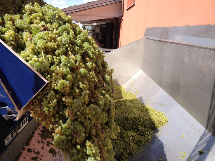#harvest 2013: our #sauvignon #grapes are picked and ready to be pressed. #umbertocesari #wine #vendemmia #vino