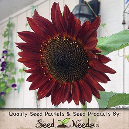 Package of 120 Seeds, Red Sun Sunflower (Helianthus annuus) Non-GMO Seeds by Seed Needs
