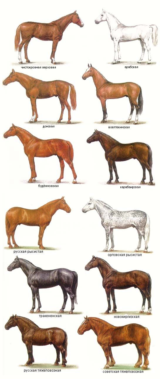 Body types in Russian: top row TB (?) & Arabian, 2nd row Don & Ahaltek, 3rd row Budjonny & Karabair, 4th row Russian  Orlov trotters, 5th row Trakehner & New Kirghiz and bottom Russian & Soviet heavy drafts