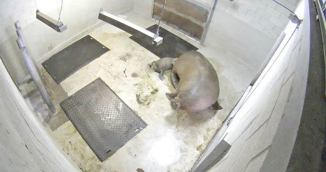 Première naissance d'un bébé morse au Canada en milieu zoologique - Zoonaute.net
