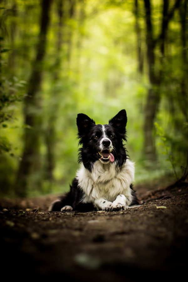 border collie en el bosque
