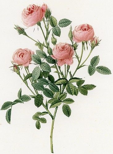 額絵ルドゥーテのバラ > ルドゥーテのバラの絵 > 「4輪のミニバラ」小