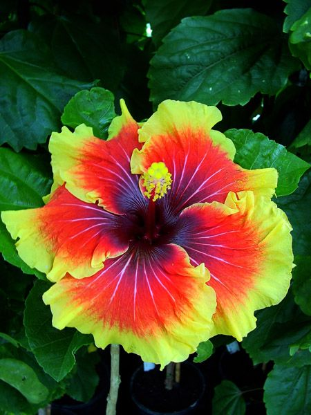 Hibiscus is as beautiful as it is healthy! Grow a pink or red specie of this flower in your backyard for a pop of color.