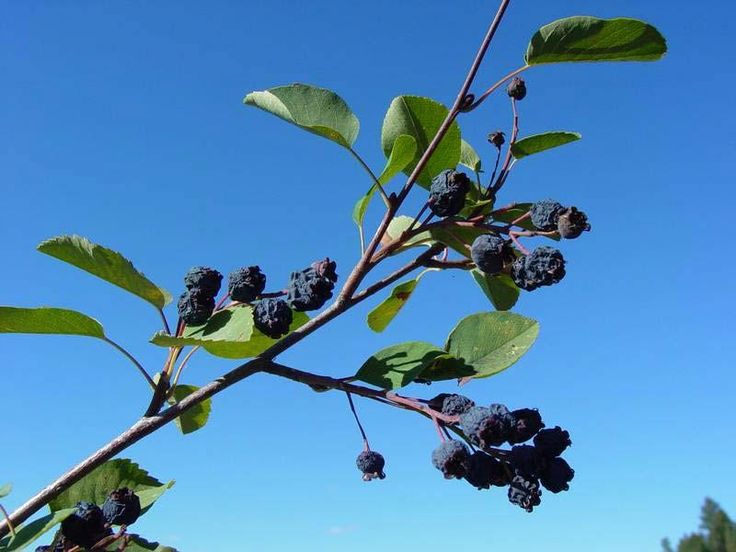 Berries of Serviceberry (Amelanchier alnifolia). Photo by Rich Old, all rights reserved.