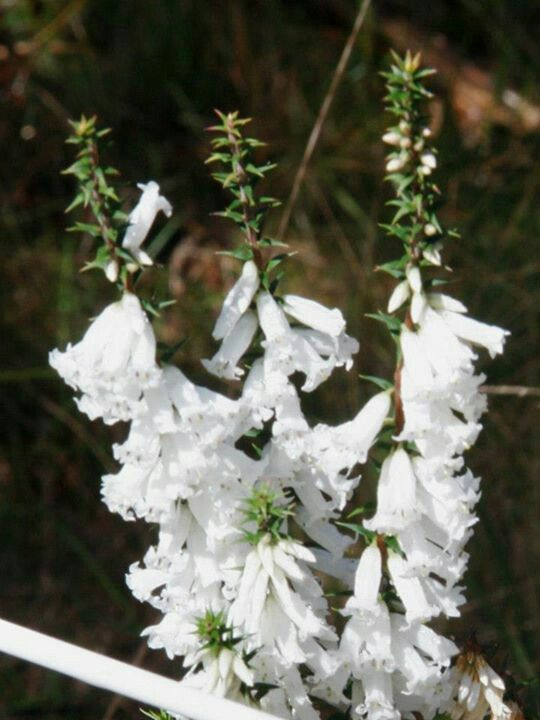 Epacris impressa, the Victorian state emblem comes in white and pink locally. This photo taken in  the 100 acres in Park Orchards by ?