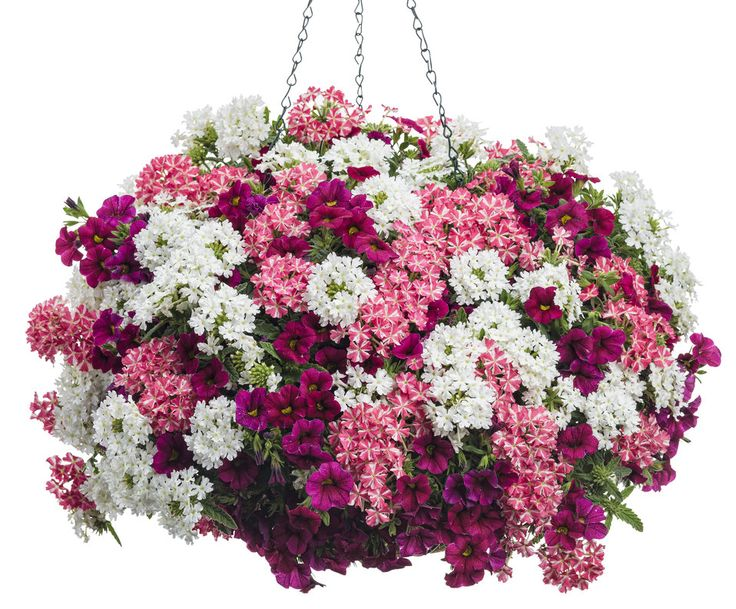 So Sweet | Proven Winners-1 Superbells® Cherry Red Calibrachoa, 2 Superbena® Royale Cherryburst Verbena, 2 Superbena® Royale Whitecap Verbena