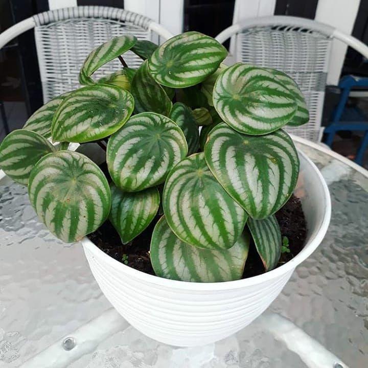 Awalnya Sekedar Hobi Namanya Hobi Sebelas Dua Belas Sama Jadi Kolektor Hobi Bunga Pasti Sibuk Sana Sini Cari Yg Disuka Yg Hi Cactus Plants Plants Cactus